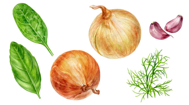 Onion bulbs spinach basil dill garlic set watercolor isolated on white background