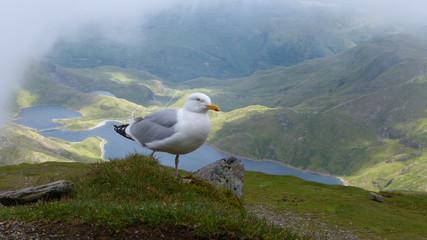 Fototapeta Mewa na szczycie Snowdon Peak obraz