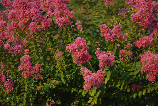 Pink flowers on a Crape myrtle, also known as Lagerstroemia indica