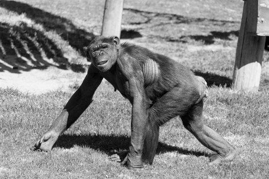 Close-up Of Monkey Walking On Grassy Field