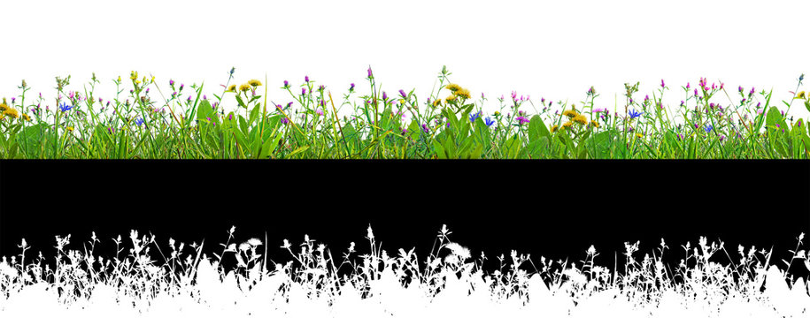 purple clover flowers and grass isolated on white background with alpha mask for easy isolation