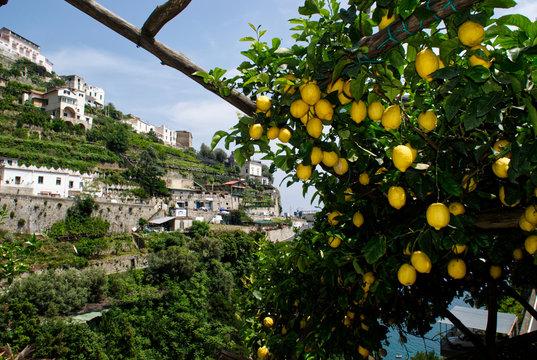 kiście cytryn, Amalfi, Włochy