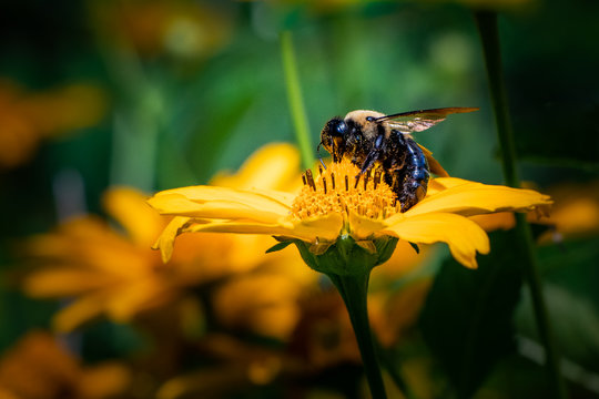 A bumblebee feeds on a daisy in Berks County, PA