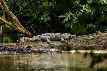 Crocodile On Fallen Tree By Lake