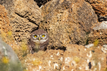 Fototapete - The Little Owl Athene noctua. A young owl looks out of its hole