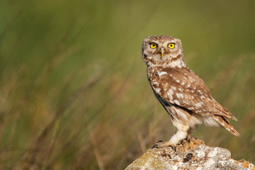 Fototapete - The Little Owl Athene noctua, stands on a rock. Portrait in a beautiful light