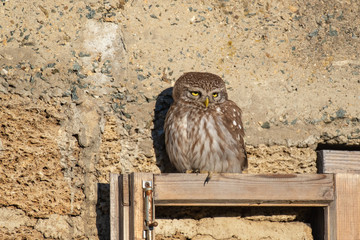 Fototapete - Little owl, Athena Noctua sits on a wooden window pane