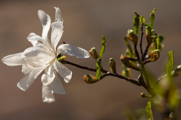 close up view on a white star magnolia