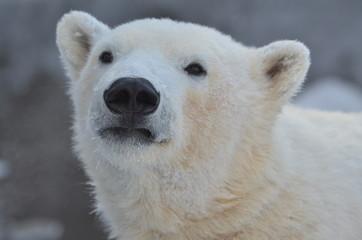 Deurstickers Ijsbeer white polar bear