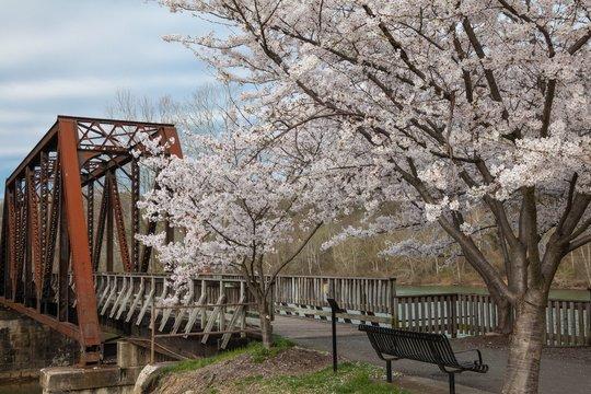 Cherry trees in full spring bloom at Hazel Ruby McQuain Park in Morgantown West Virginia