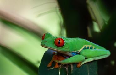 Foto op Plexiglas Kikker Red-Eyed Tree Frog rest on dark green leaf