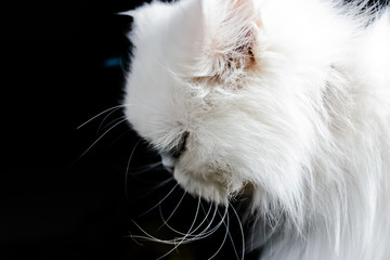 white persian cat from up close