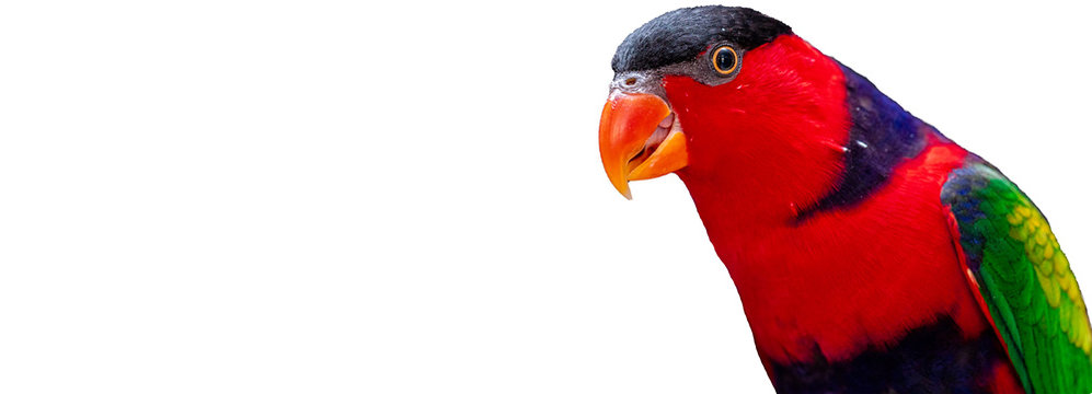 Lorius lory parrot on white background with copy space
