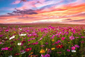 Wall Mural - Beautiful and amazing of cosmos flower field landscape in sunset. nature wallpaper  background.
