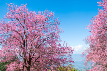 Wall Mural - Beautiful cherry blossom flowers in spring time over blue sky. sakura tree at chiang-khong Chiangrai, The nothern of Thailand.