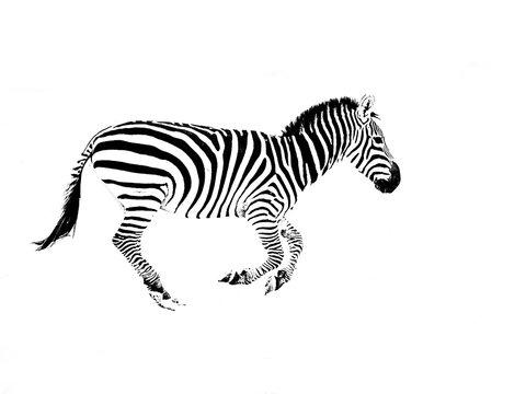 Zebra Against White Background