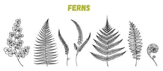 Fern sprigs sketch collection. Hand drawn illustration. Tropical set. Vector illustration. Design template.
