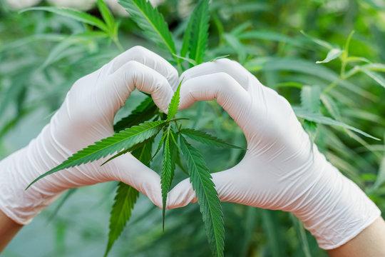 hand like heart shape on cannabis leaf.Indoors marijuana growing,