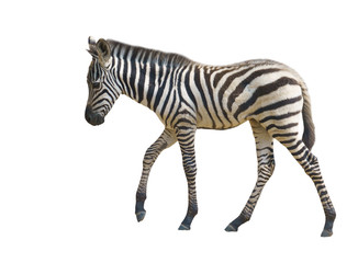 Wall Mural - young zebra isolated
