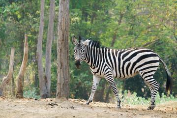 Wall Mural - zebra standing alone