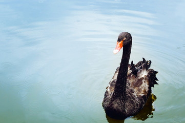 Fotobehang Zwaan A beautiful black swan swims in the water. Nature protection concept. Natural background with place for copyspace.