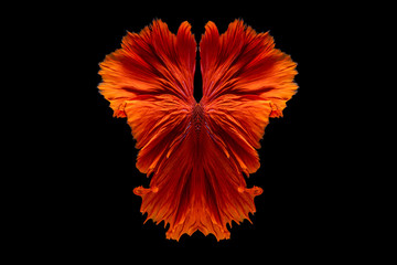 Foto op Plexiglas Vissen The moving moment beautiful of red siamese betta fish or fancy betta splendens fighting fish in thailand on isolated black background. Thailand called Pla-kad or half moon biting fish.