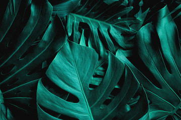 Fotomurales - closeup nature view of green monstera leaf background. Flat lay, dark nature concept, tropical leaf
