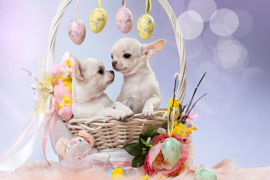 Two cute Chihuahua puppies in a basket. Easter
