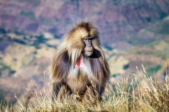 Gelada baboons in the Simien Mountains National Park, Ethiopia