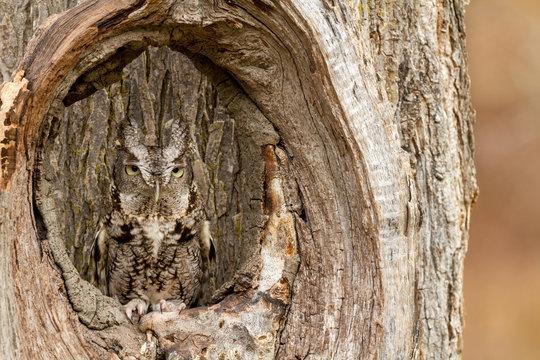 An eastern screech owl tucking into a tree trunk