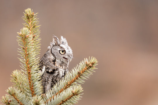 A grey eastern screech owl perched in a pine tree