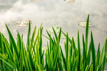 Obraz trawa trzcina - fototapety do salonu