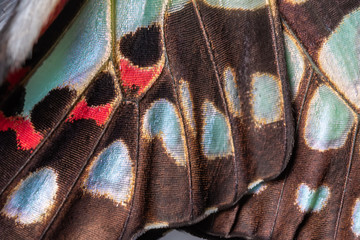 Fototapeten Schmetterlinge im Grunge Close up of The Common Jay Butterfly wing detail and texture,The Common Jay Graphium doson axino C & R Felder, 1864