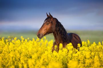 Photo sur Plexiglas Chevaux Bay horse with long mane on rape field