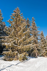 Fototapete - Alpine mountain with snow covered conifer trees