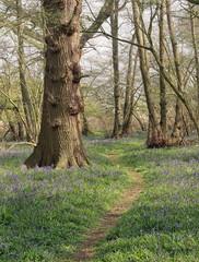 Wall Mural - Spring Bluebells in an English Beech Wood