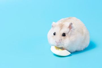 Fluffy dwarf hamster eats egg white on blue background front view. Wall mural