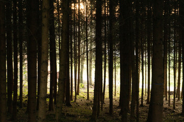 Wall Murals Forest Landscape picture of a forest with sunset with dark fir trees and the sun with rays between the trees, mostly green and yellow