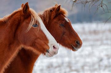 Door stickers Horses Horse