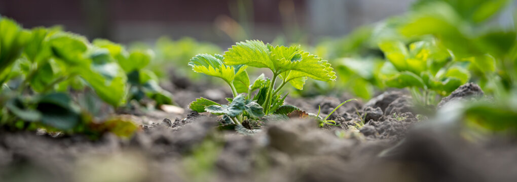 Young organic strawberry plant in a garden