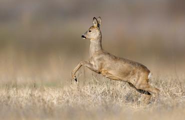 Fototapete - Roe deer ( Capreolus capreolus ) jumping