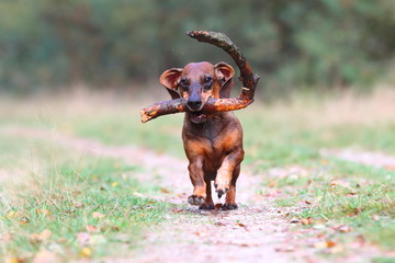 happy dachshund running in the forest while carrying a stick