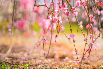 Close-up Of Pink Cherry Blossoms On Field