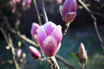 Wall Mural - pink flowering magnoli in spring