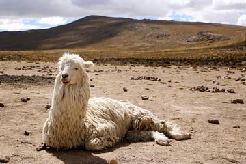 Llama (Lama glama) Resting on the Ground, Highlands of Peru.