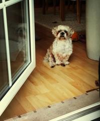 Fototapeta Portrait Of Maltipoo Poodle Sitting On Hardwood Floor By Door