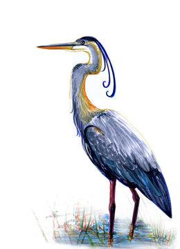blue great heron, watercolor illustration