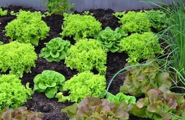 verschiedene Salatsorten Fotoväggar