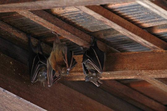 Bats in Southeast Asia