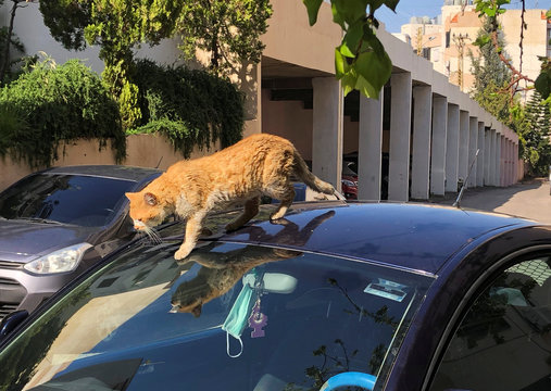 A cat walks on a car as a face mask is seen through the car window, during a countrywide lockdown to combat the spread of the coronavirus disease (COVID-19), in Sidon